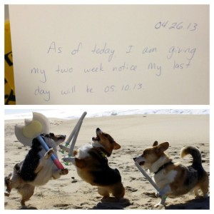 Corgi two week notice celebration